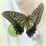 アゲハチョウの羽化をみよう♪